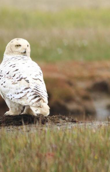 DOCUMENTARY: Nature (PBS, 8 p.m.) Take note, Harry Potter fans: Tonight's edition of the venerable science series focuses exclusively on the majestic snowy owl, famous for being the same breed as Harry's loyal companion, Hedwig. Filmed in the rugged climes of of Alaska, the program chronicles the life cycle of a winged predator that has learned to survive and thrive in one the most unforgiving environments on the planet. Watch and be amazed as a snowy owl sets its sights on a luckless lemming and zooms in to tear it to pieces with its razor-sharp talons. Then be touched as the winged predator brings home the bits and pieces to feed its baby owlets. It's the circle of life.
