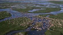 Caribou migrate across the tundra in summer near Hudson Bay. Climate change is on course to utterly transform polar communities and the environments they depend upon, scientists say. (Bryan and Cherry Alexander/World Wildlife Federation)