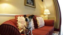 One-and-a-half-year-old Jack Russell Terrier, Ella, sits on a couch in a room of Hotel Sacher in Vienna July 30, 2013. (LEONHARD FOEGER/REUTERS)