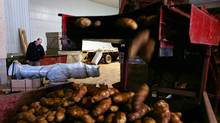 Inside the Visser's Sons potato warehouse in Orwell Cove, Prince Edward Island. FILE PHOTO (Nina Linton for The Globe and Mail/Nina Linton for The Globe and Mail)