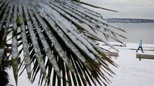 Snow clings to the leaves of a palm tree as a woman walks along English Bay Beach in Vancouver, B.C., on Monday January 16, 2012. (DARRYL DYCK/THE CANADIAN PRESS/DARRYL DYCK/THE CANADIAN PRESS)