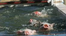 CHOPPY WATERS: Four pigs paddle furiously across a trough of water as part of a fall event at Southern Belle Farm in McDonough, Ga. (Ron Harris/Associated Press)