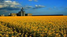 Given all its economic spinoffs, such as transportation and processing, canola is a $15.4-billion industry in Canada. (Canola Council of Canada/Canola Council of Canada)