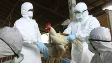 Balinese government officials prepare to cull chickens as a precautionary measure to prevent the spread of bird flu, at a market in Denpasar, Bali, Indonesia, on April 26, 2012. (Firdia Lisnawati/Firdia Lisnawati/AP)