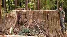 A giant stump within a clearcut near Avatar Grove. (TJ Watt)