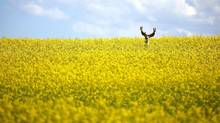 A stag stands in a neck high field of canola north of Cremona, Alta., on July 31, 2011. (Jeff McIntosh/THE CANADIAN PRESS)