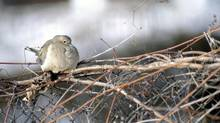 A mourning dove puffs out its feathers to insulate it from the cold as its sits on a vine-covered chain link fence in Brockville, Ont. (DARCY CHEEK/BROCKVILLE RECORDER AND TIMES/THE CANADIAN PRESS)