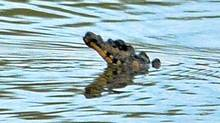 A large crocodilian has been reported loose in a Hamilton Pond. It has been seen across from Hutches Restaurant at 280 Van Wagners Beach Rd. Bry Loyst of the Indian River Reptile Zoo is on site and is attempting to capture this animal.