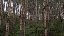 Timber Plantations owned by Sino-Forest are seen in Tang Kong Village, near Gaoyao, Southern China on June 28, 2011. (ADAM DEAN FOR THE GLOBE AND MAIL)