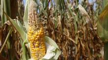 Corn plants struggle to survive in drought-stricken farm fields in Ferdinand, Indiana in this July 24, 2012 file photograph. (JOHN SOMMERS II/REUTERS)