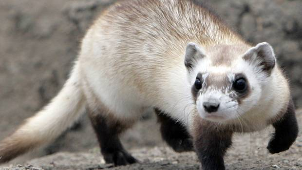 Ferrets are being used to get high-tech wires into tight spots.