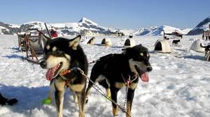 Shore excursions get a little more daring, such as Carnival Cruises' dog sled lessons in Alaska.