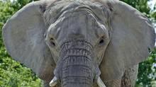 At 41, Tara lived the longest of any elephant ever kept at the Toronto Zoo.