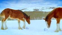 This image provided by Anheuser Busch from a commercial shown during the Super Bowl shows Clydesdale horses making snowballs.