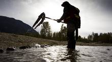 A Department of Fisheries and Oceans technician pulls dead sockeye salmon out of the Adams River in British Columbia on Oct. 26, 2011. (JOHN LEHMANN/THE GLOBE AND MAIL)