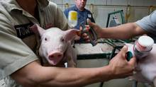 John de Bryn watches as his three week old pigs get their shots on his pig farm near Salford on May 14, 2015. (Glenn Lowson For The Globe and Mail)