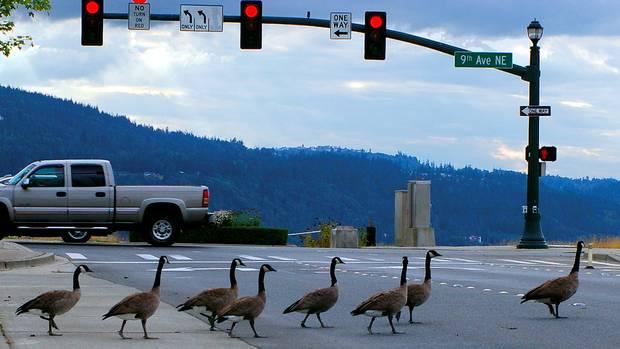 [Image: geese-crosswalk.jpg]