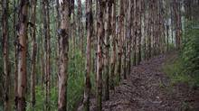 These timber plantations in Tang Kong Village, near Gaoyao, southern China, are owned by Sino-Forest Corp. Lawyers are vying for the right to represent shareholders in class-action suits against the forestry company. (Adam Dean For The Globe and Mail)