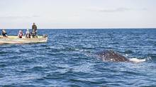 Get close to grey whales in the Baja peninsula. (Darryl Leniuk)