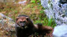 A wolverine is seen in this U.S. Fish and Wildlife Service photo taken Dec. 10, 2010. (Roy Anderson/Reuters/U.S. Fish and Wildlife Service)