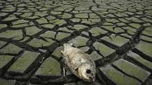 A dead fish is seen on a dried-up reservoir near Yingtan, China, in this file photo from 2008. (REUTERS)