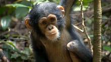 """Screen grab from the online trailer for the new Disney Nature documentary, """"Chimpanzee"""""""