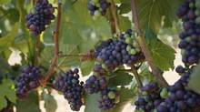 Grapes are shown from Venturi & Shulze Vineyards in Cobble Hill, B.C. The province's brewery, distillery and winery owners will soon face less red tape after another significant update to the province's liquor laws. (Arnold Lim For The Globe and Mail)