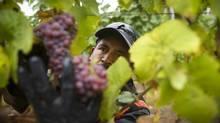 Mexican Migrant worker Eliseo Sebastian Garrido picks gewürztraminer grapes at the Hidden Terrace vineyard in Okanagan, B.C., Oct. 3, 2011. (JOHN LEHMANN/JOHN LEHMANN/THE GLOBE AND MAIL)
