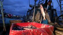 Captain Sugar Yamada offloads his catch of sockeye salmon at Steveston Harbour following a 32-hour fishery window in Richmond, B.C., on Thursday August 26, 2010. (DARRYL DYCK/Darryl Dyck/ The Globe and Mail)