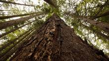 A Douglas Fir tree at Avatar Grove along the Gordon River Valley, B.C. August 29, 2010. (Arnold Lim For The Globe and Mail/Arnold Lim For The Globe and Mail)