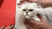A Persian chinchilla cat is examined by a judge during the Athens 21st International Cat Show January 27, 2013. (JOHN KOLESIDIS/REUTERS)