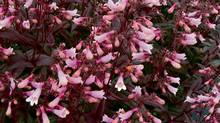Penstemon 'Dark Tower' (Handout/Terra Nova Nurseries)
