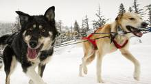 A team of sled dogs near Whistler January 16, 2012. (John Lehmann/The Globe and Mail/John Lehmann/The Globe and Mail)