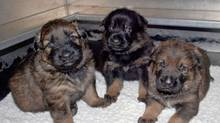 Three of the 13 German shepherd puppies are show in this handout. (THE CANADIAN PRESS)