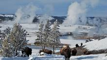 In winter, you'll spot more wildlife, like these bison in Yellowstone National Park. (Suzanne Morphet)