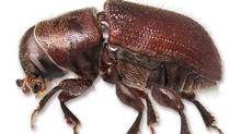 A mountain pine beetle is shown in a handout photo. Alberta researchers say the destructive mountain pine beetle has infested a different type of tree that could allow the bugs to spread eastward across Canada. (KLAUS BOLTE/THE CANADIAN PRESS)