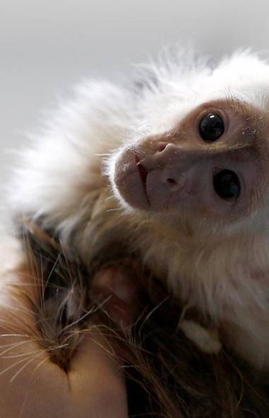 Sad news from Germany, where a spokesperson for the German government says Justin Bieber has indicated through his lawyer that he is abandoning Mally, the pet monkey he brought into the country in April who was seized by German border guards. (Michaela Rehle/Reuters)