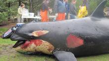 The battered body of a three-year-old female killer whale washed up on Long Beach Wash. in February. Experts are now trying to determine if sonar testing by a Canadian Naval ship may have contributed to the death of the endangered species. (THE CANADIAN PRESS/Handout/Cascadia Research)