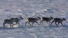 The caribou issue has already been examined by regulators considering the Keystone XL pipeline, says TransCanada Corp. (NATHAN DENETTE/THE CANADIAN PRESS)