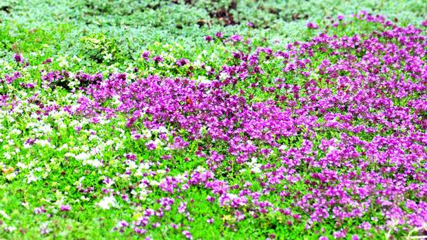 It 39 s about thyme good looks resilience and guaranteed garden impact the globe and mail - Drought tolerant grass varieties ...