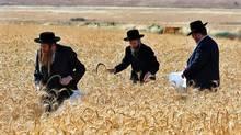 Ultra-Orthodox Jewish men harvest wheat in a field near the Israeli town of Modiin. (GIL COHEN MAGEN/GIL COHEN MAGEN/REUTERS)