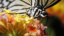 A White Tree Nymph, a Philippines species, feeds on a Lantana flowers at the Victoria Butterfly Gardens in central Saanich, B.C.. (Chad Hipolito/The Globe and Mail)