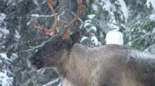 Federal scientists have concluded that Alberta's mountain caribou should be considered endangered, the highest threat level in Canadian conservation law.