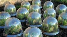 Fancy cloches are an attractive but expensive way to protect frost-sensitive veggies. You can also make your own by cutting the bottoms off plastic water bottles. (unknown/istockphoto)