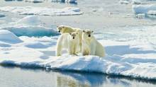 The polar bear, or Nanook in Inuit, is king of the Arctic. (Ralph Lee Hopkins/Lindblad Expeditions)