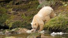 Appeals to younger travellers through targeted advertising on sites such as Buzzfeed has resulted in a marked increase in visitors from the United States and Europe to sites across Canada, such as B.C.'s Great Bear Rainforest. (Matador Network)