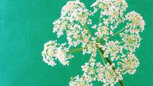 Goutweed may look pretty - but it will take over a garden. (Getty Images/Thinkstock/Getty Images/Thinkstock)