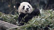 Giant panda Er Shun is pictured at the zoo in Chongqing in 2012. Canada's Prime Minister Stephen Harper announced two giant pandas, Er Shun and Ji Li, will spend 10 years in two Canadian zoos. (CHRIS WATTIE/REUTERS)
