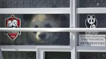 The panda Da Mao peers out of his container as it is unloaded from a transport jet on March 25, 2013 in Toronto. Two bears, on loan from China, will spend time at both the Toronto and Calgary Zoos. (Moe Doiron/The Globe and Mail)