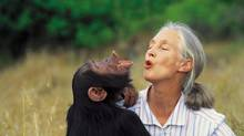 Jane Goodall and Uruhara. (Michael Neugebauer/JANE GOODALL INSTITUTE OF CANADA)